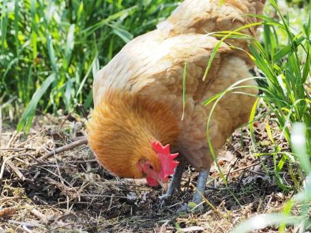 名古屋コーチン かしわの王様は伊達じゃない 最高の地鶏